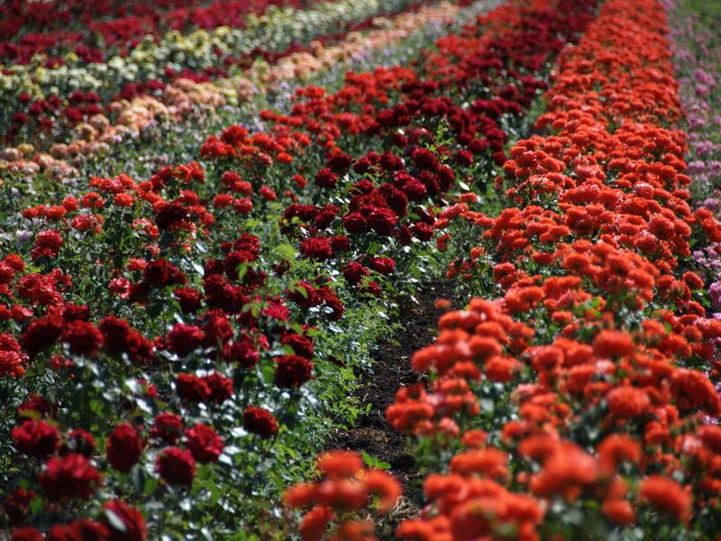 Волинянці, яка продавала неіснуючі саджанці троянд, загрожує до трьох років позбавлення волі