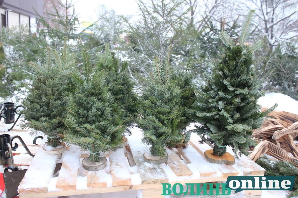 У Луцьку визначили місця для продажу різдвяних ялинок