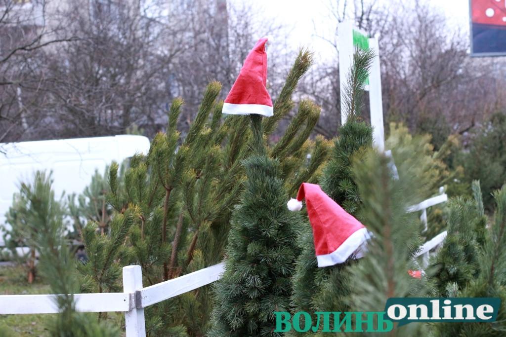 У Луцьку стартував продаж новорічних дерев. ЦІНИ