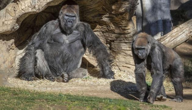 Горили в американському зоопарку заразилися коронавірусом