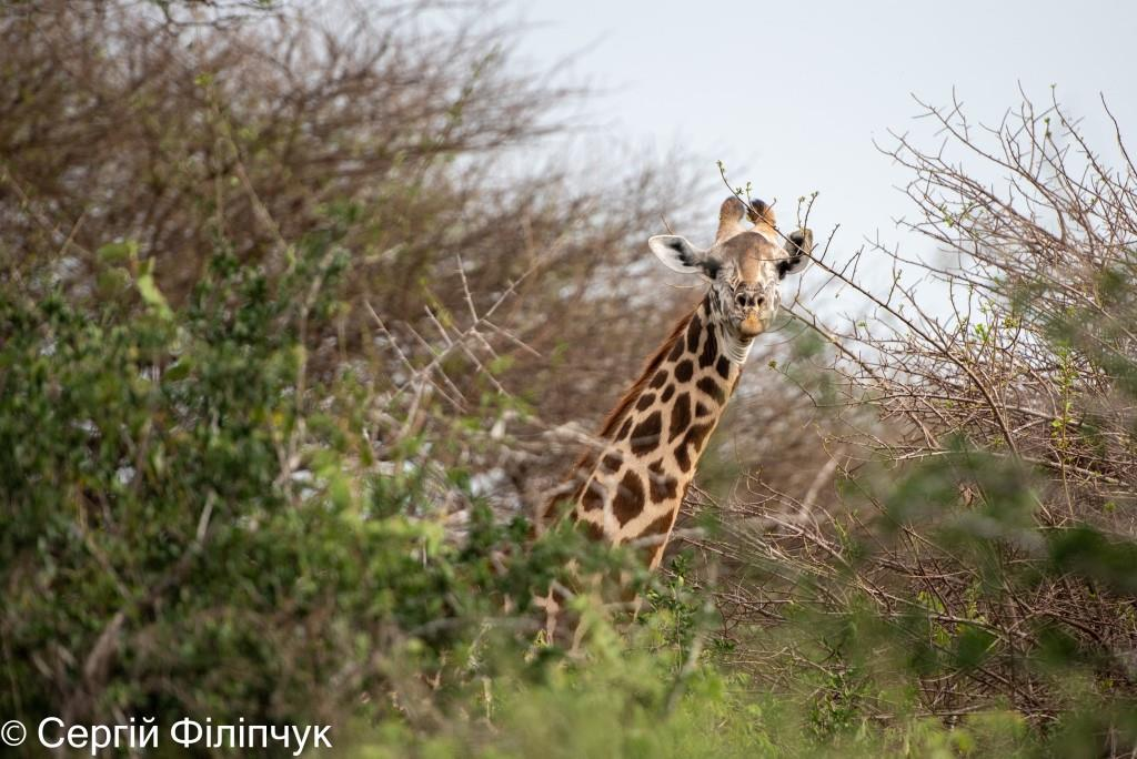 «Бачиш, як зебри «посилають гінців» до левів»: чому варто побувати на сафарі у Кенії. ВІДЕОВІДГУК