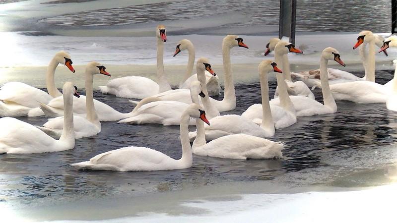 У Ковелі на Турії оселилися лебеді
