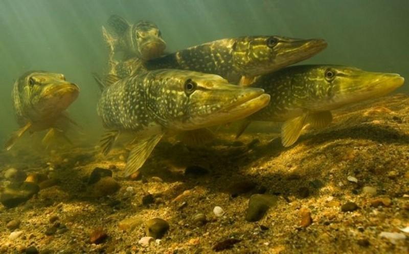 На Волині вступає в силу щорічна заборона на вилов риби