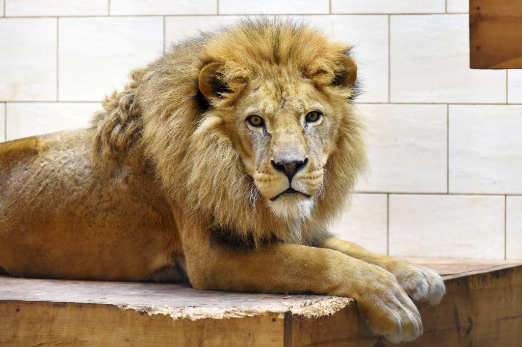 У Луцькому зоопарку помер лев