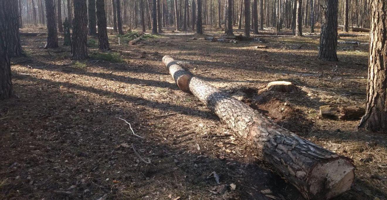 Двом волинянам, які незаконними рубками завдали державі шкоди на майже 145 тисяч гривень, повідомили про підозру