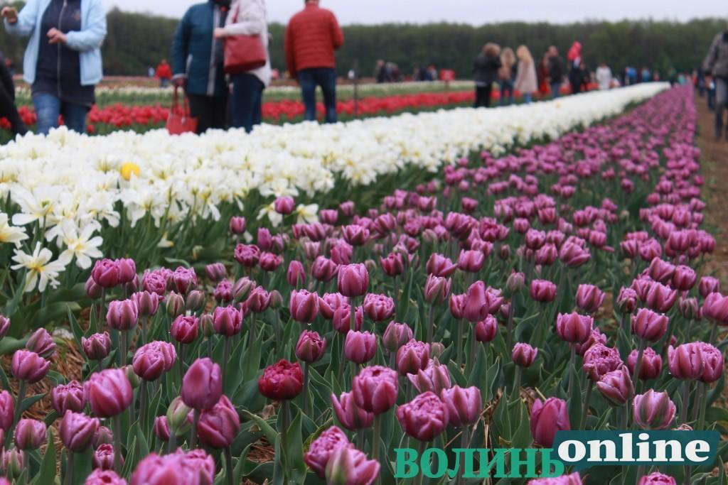 «Волинська Голландія»: фестиваль тюльпанів триватиме понад тиждень