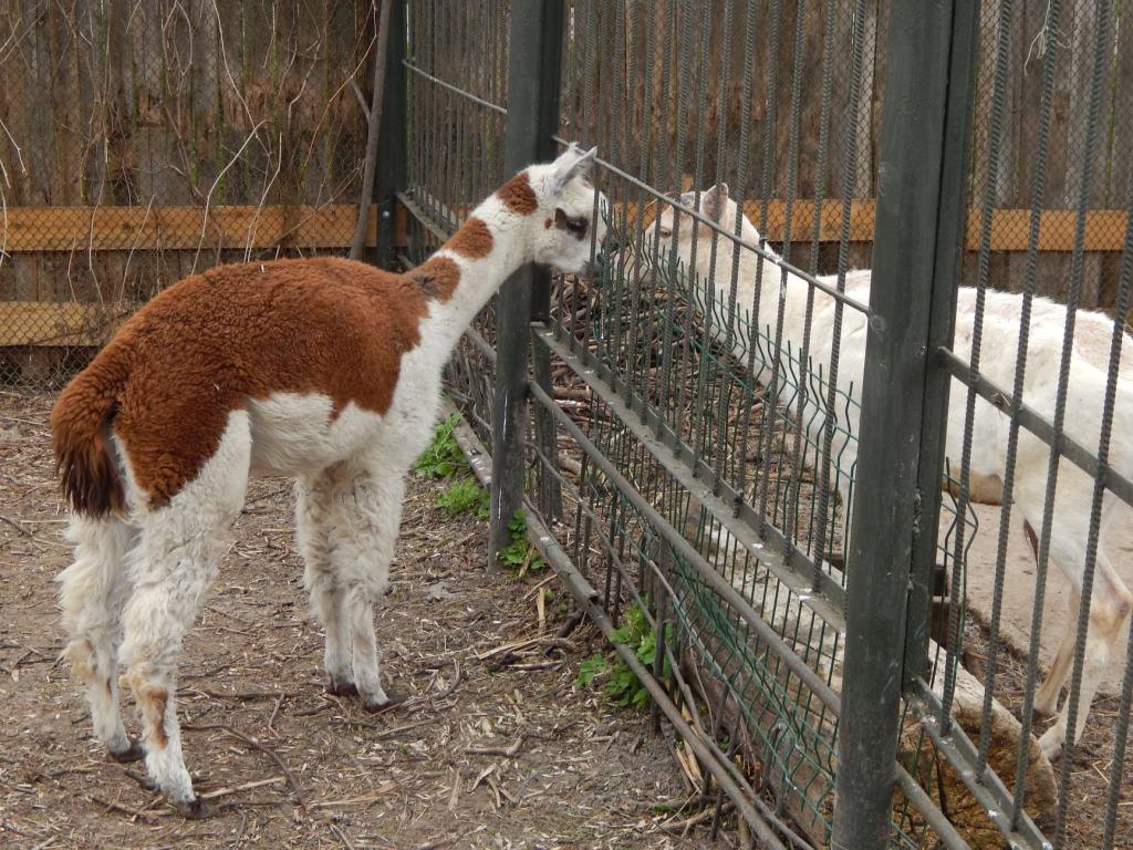 У Луцькому зоопарку з'явилася нова альпака