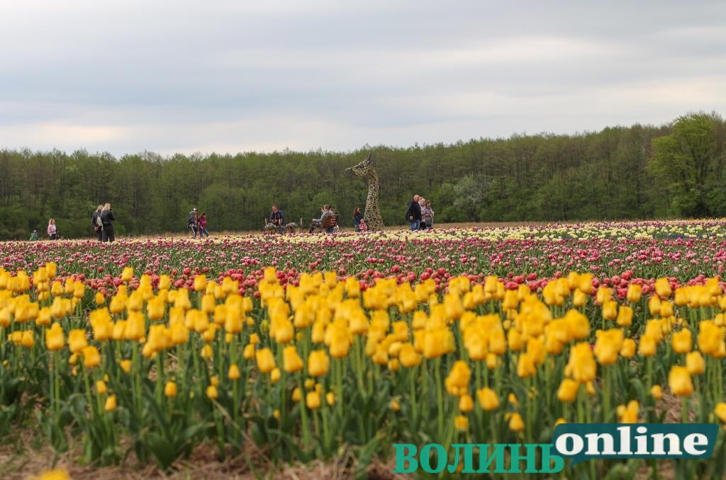 Лілейні, піоновидні та бахромчасті – у «Волинській Голландії» розцвіли мільйони тюльпанів. ФОТО