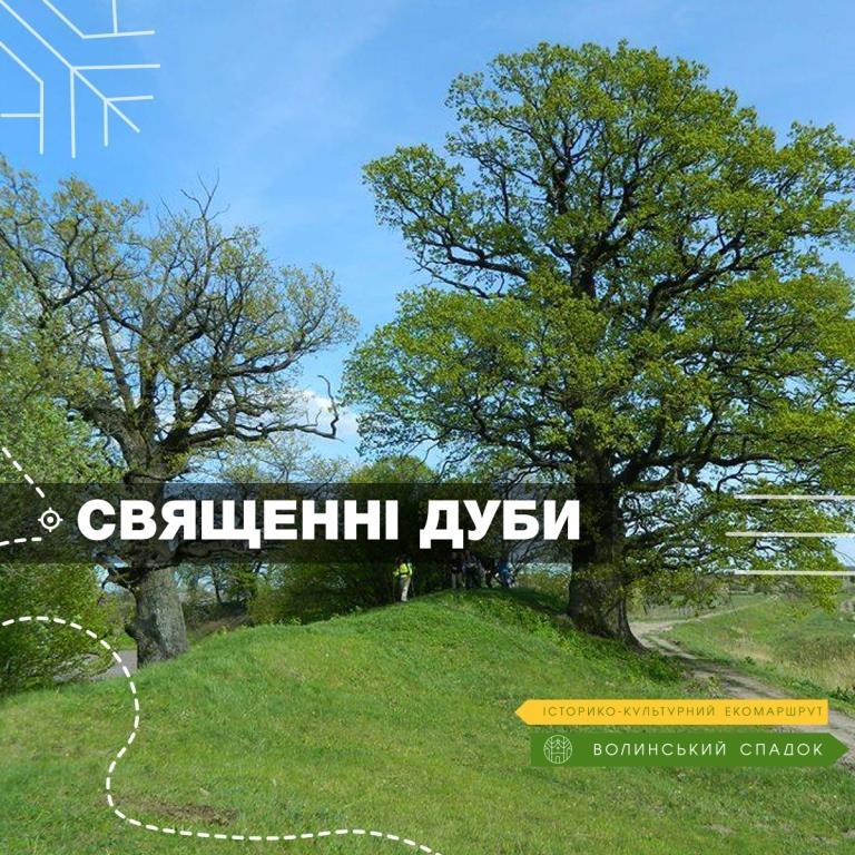 «Волинський спадок»: у селі поблизу Луцька ростуть дуби, яким понад 600 років