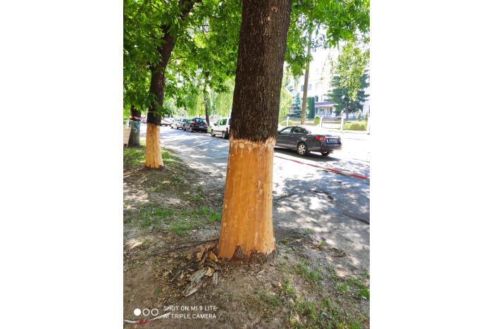 У Луцьку невідомі пошкодили дерева на вулиці Гулака-Артемовського