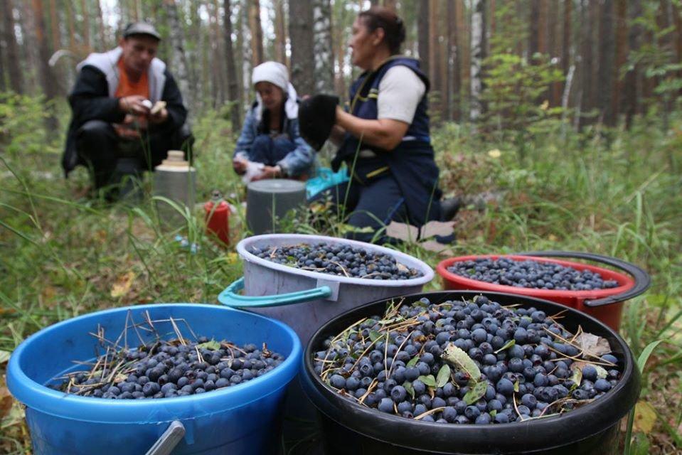 На Волині сплатили 66 мільйонів гривень ренти за спецвикористання лісових ресурсів