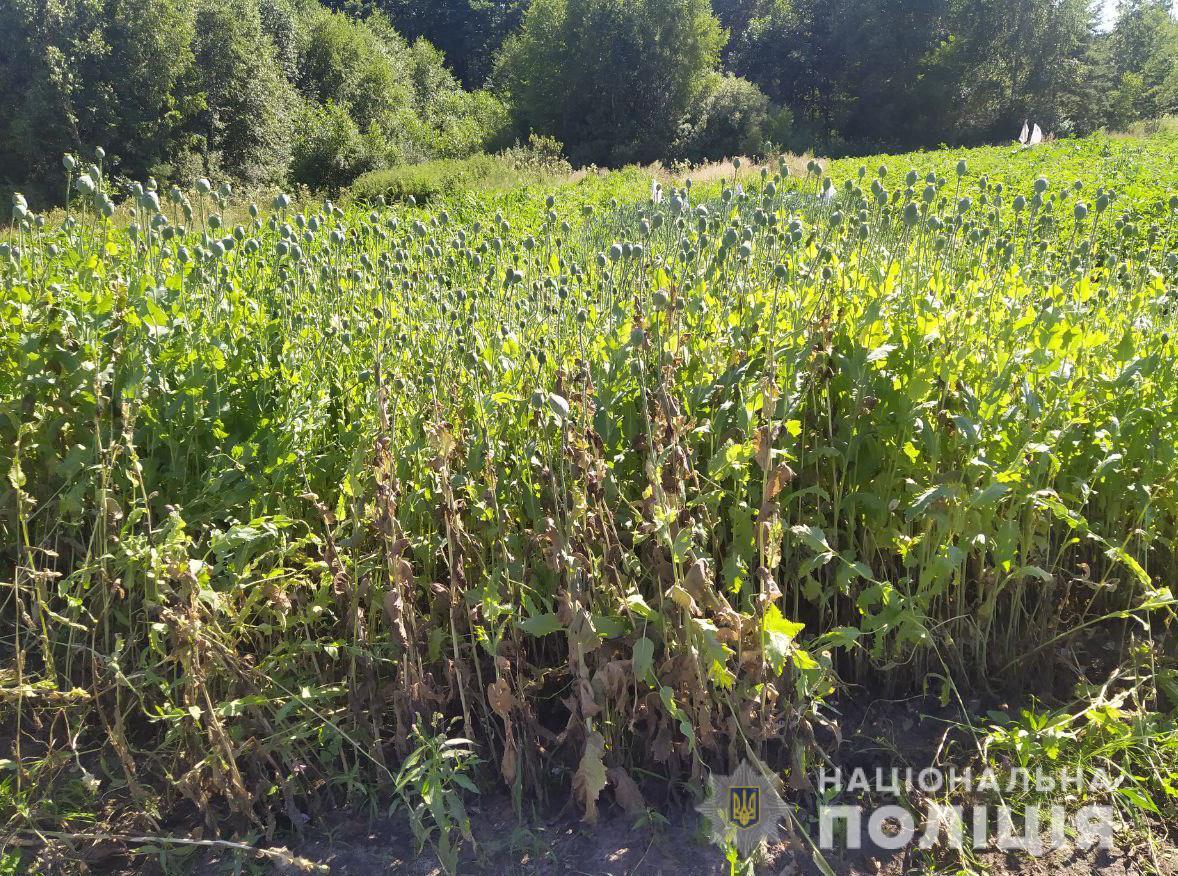 На Ковельщині виявили майже дві тисячі кущів маку