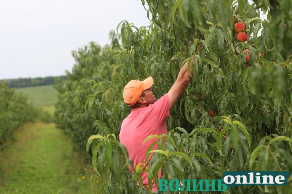 #БізнеСильні: як Іван Грушковський та Сергій Шевчук створили перший прибутковий персиковий сад на Волині