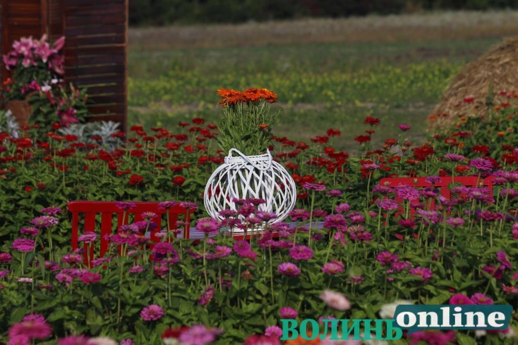 Серед барв майорів та ароматів лілій – поблизу Луцька триває «Осінь у «Волинській Голландії». ФОТО